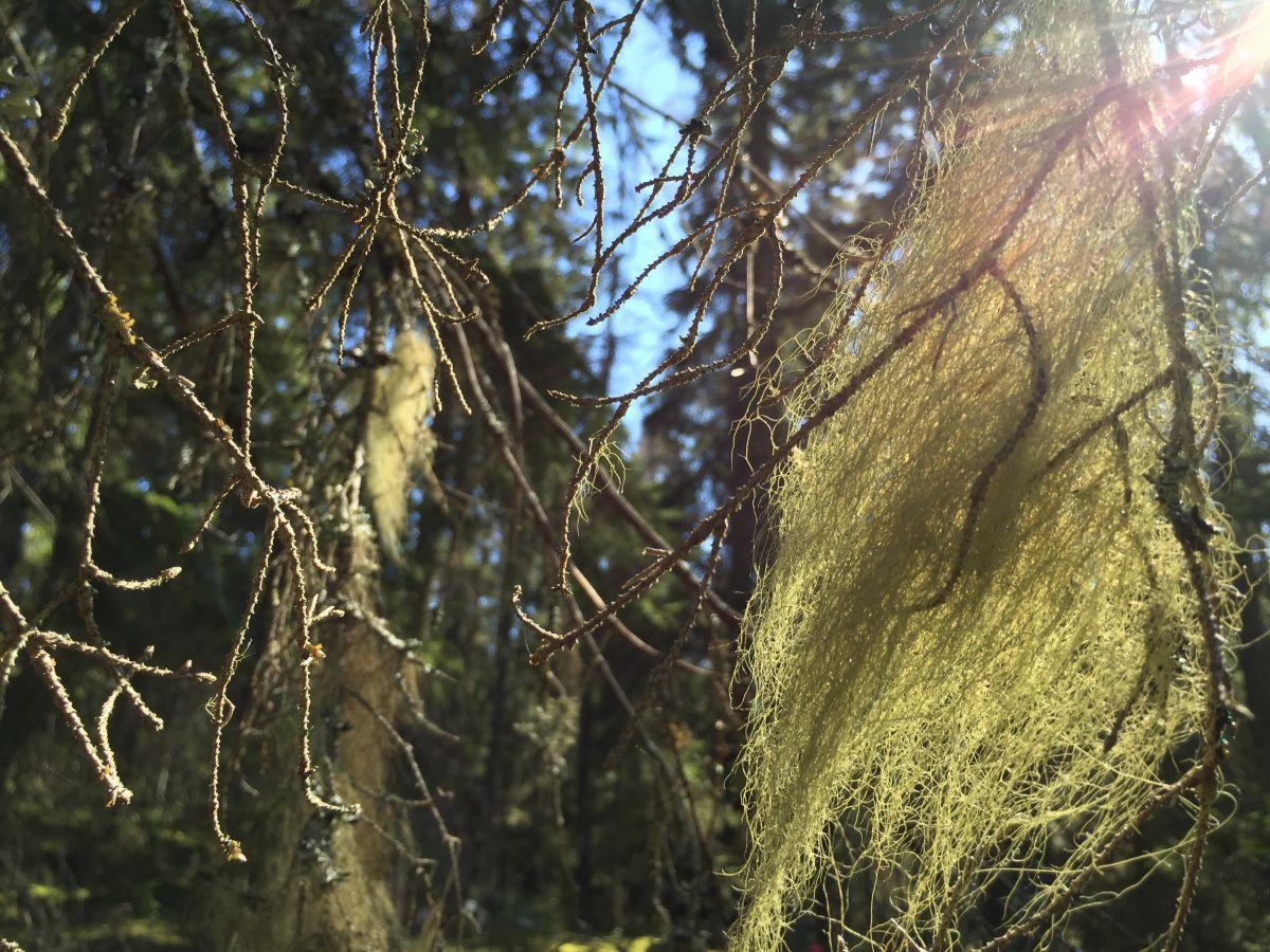 Om man ser skägglav röra sig bland grenar kan en älva passerat.