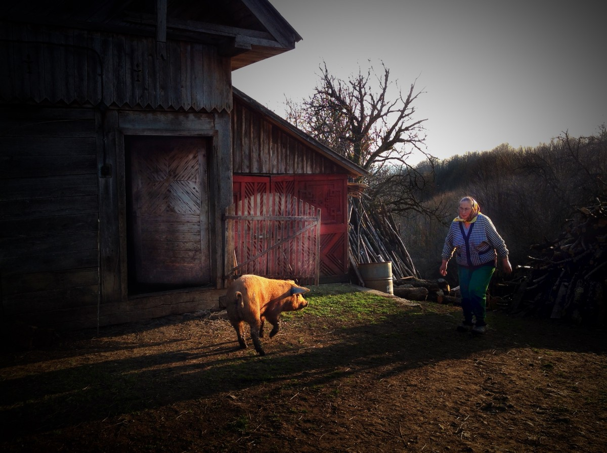 Busiga, glada grisar i Rumänien.