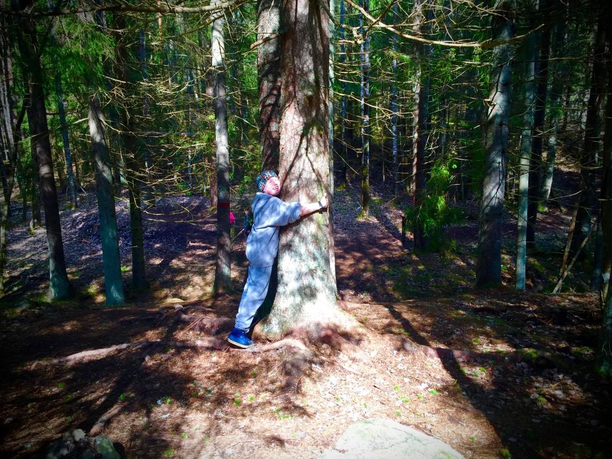 I Tyresta nationalpark finns många träd att krama.