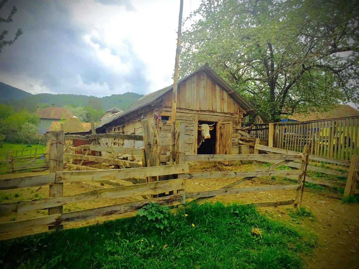 Nyfiken ko kikar ut genom dörren i den Rumänska bergsbyn.