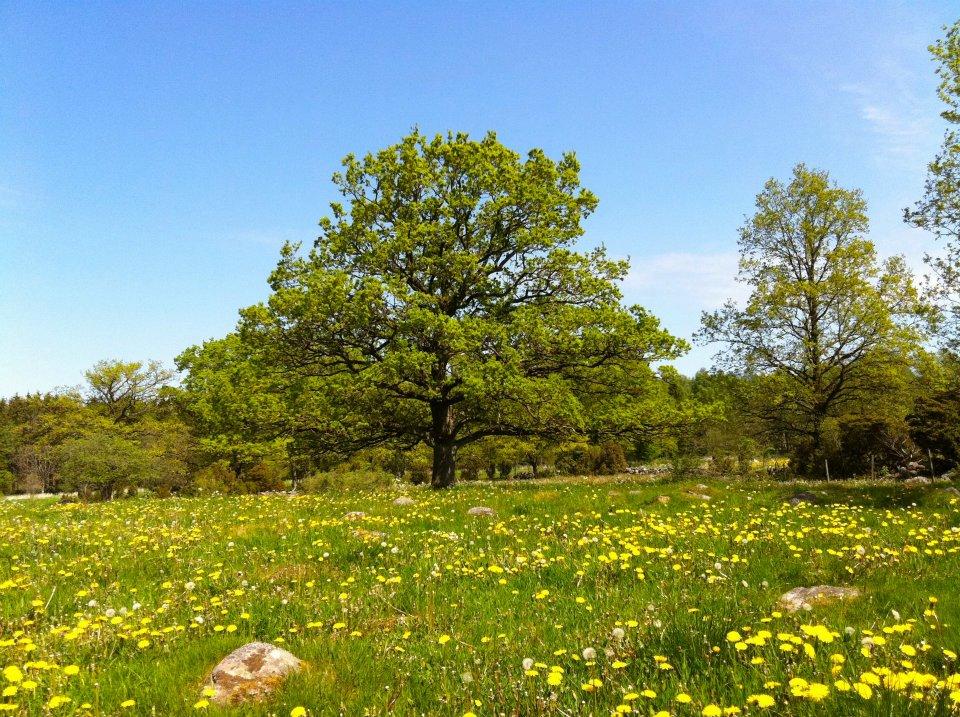sommaräng med ek