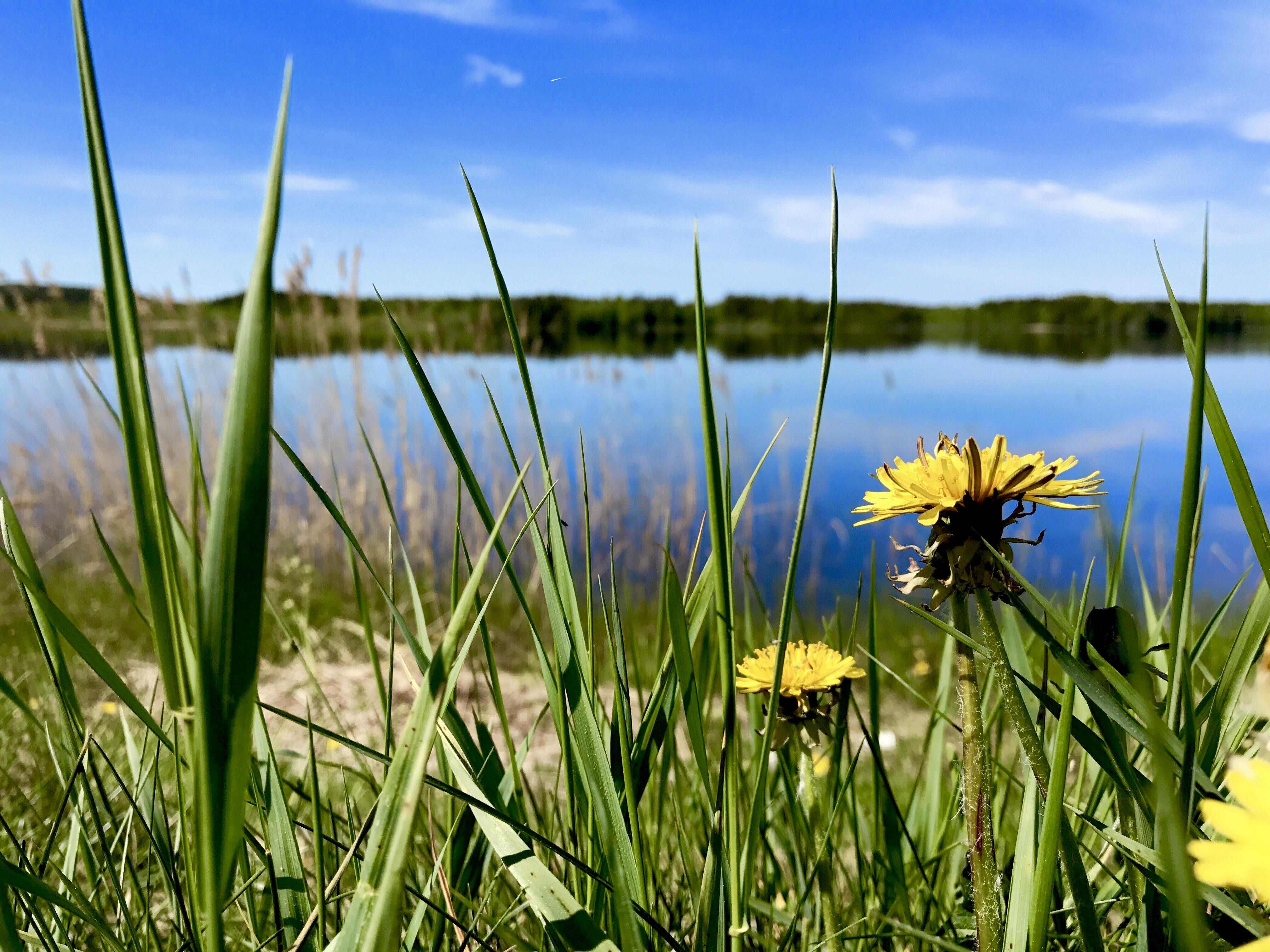 gula blommor mot blå himmel