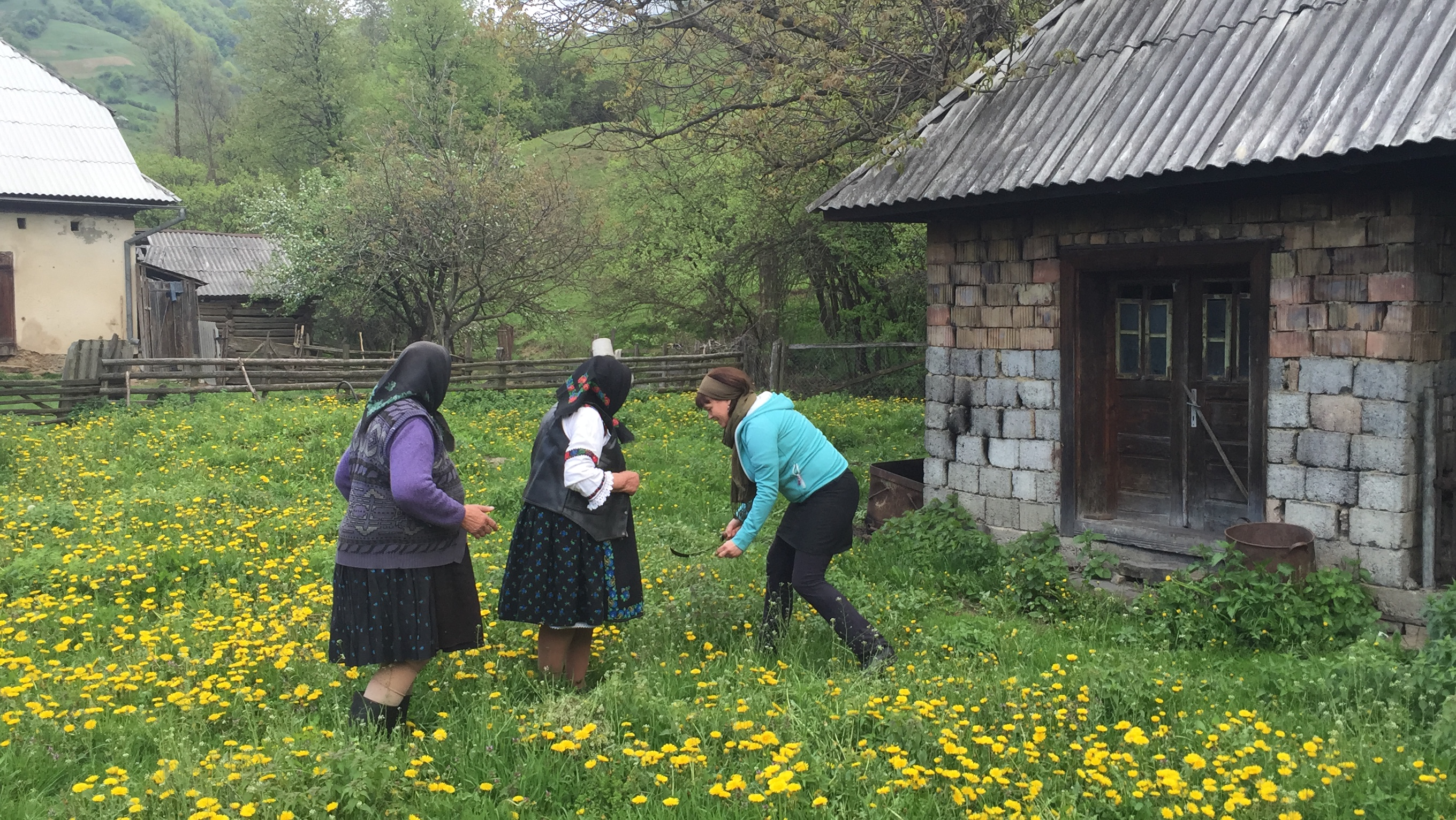 Ana Buda and her sister in Ungureni is teaching Malin how to harvest