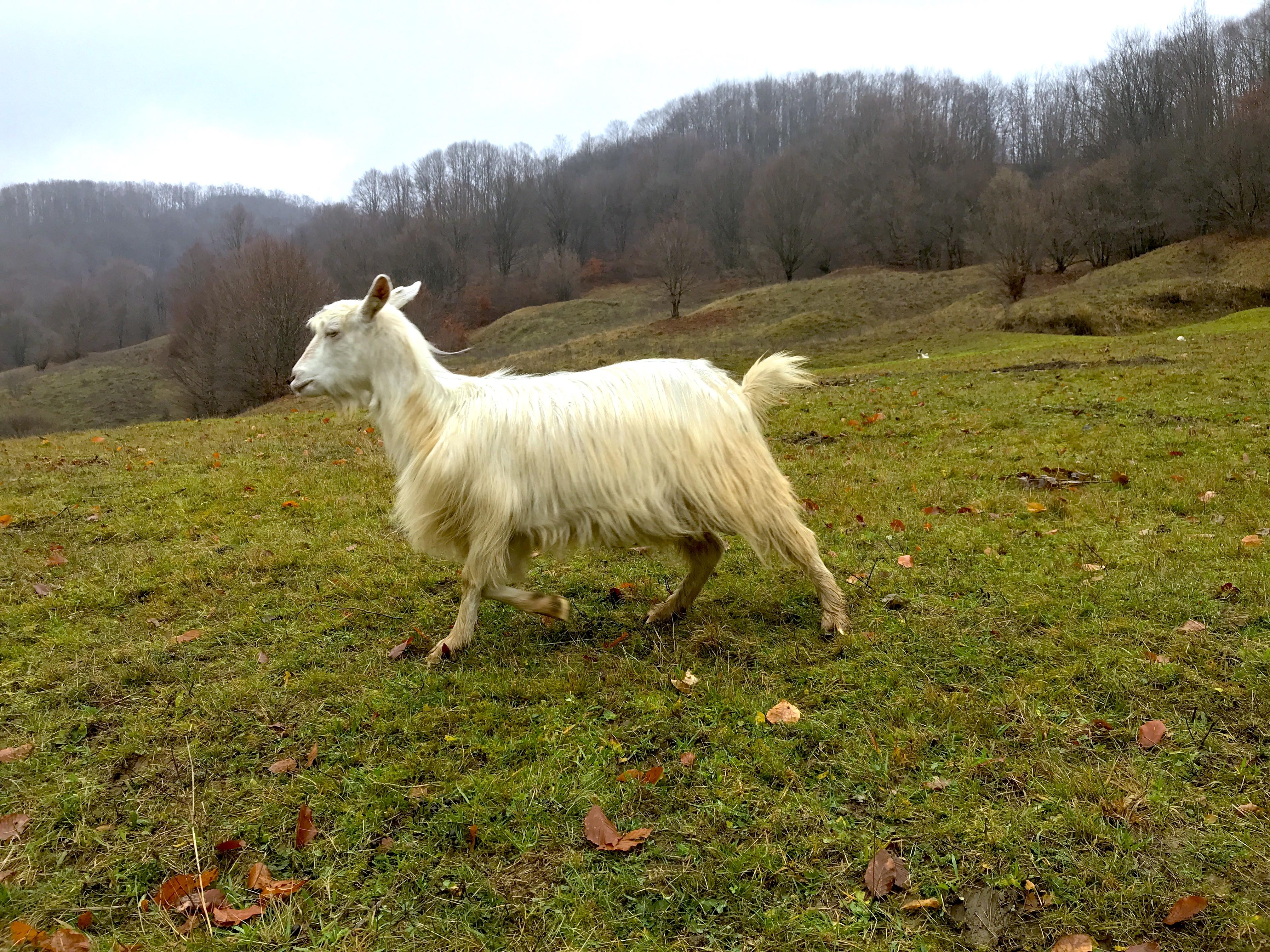 Goat running in Tara Lapusului, Romania