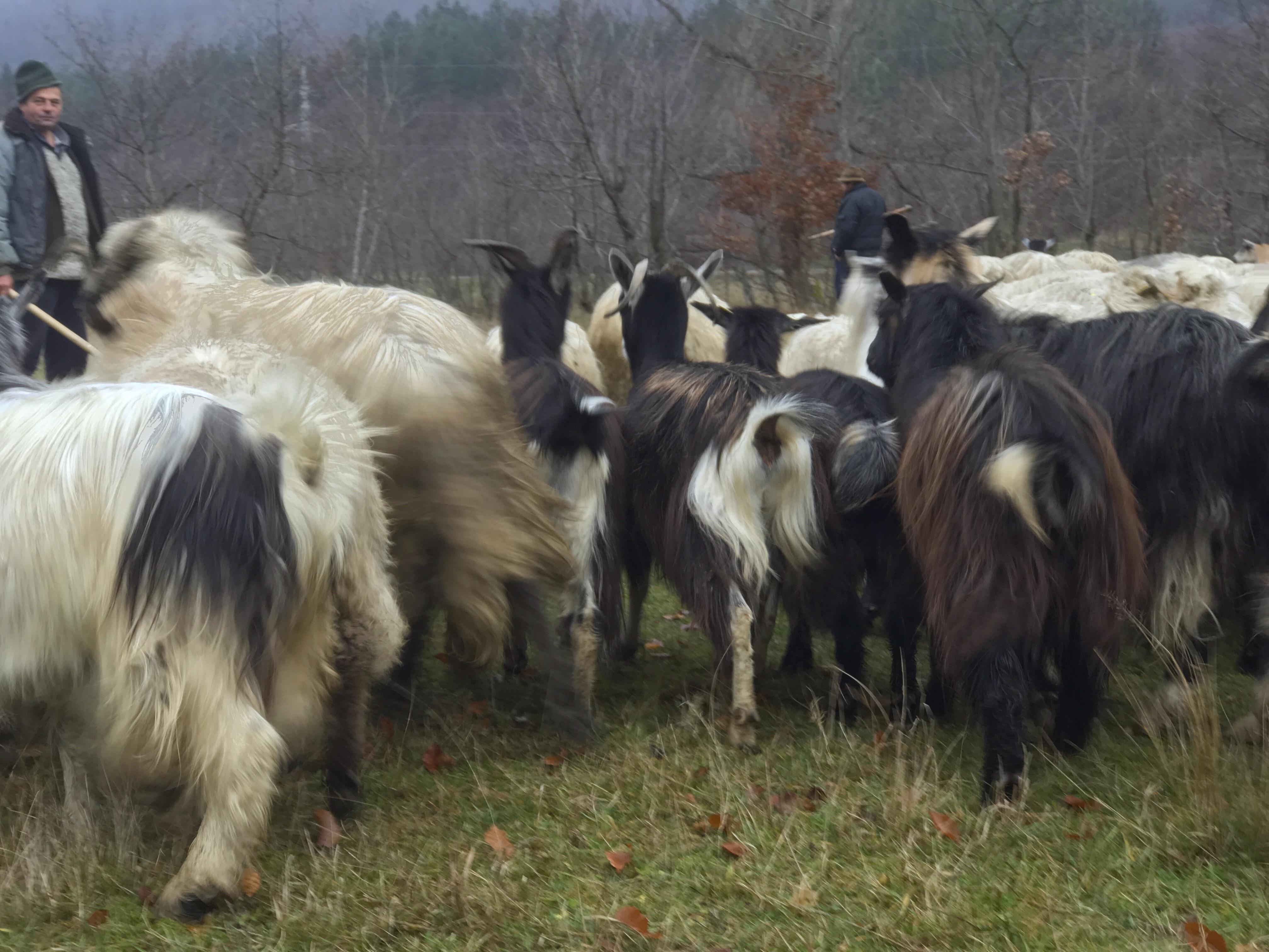 Sheeps and goats, Romania