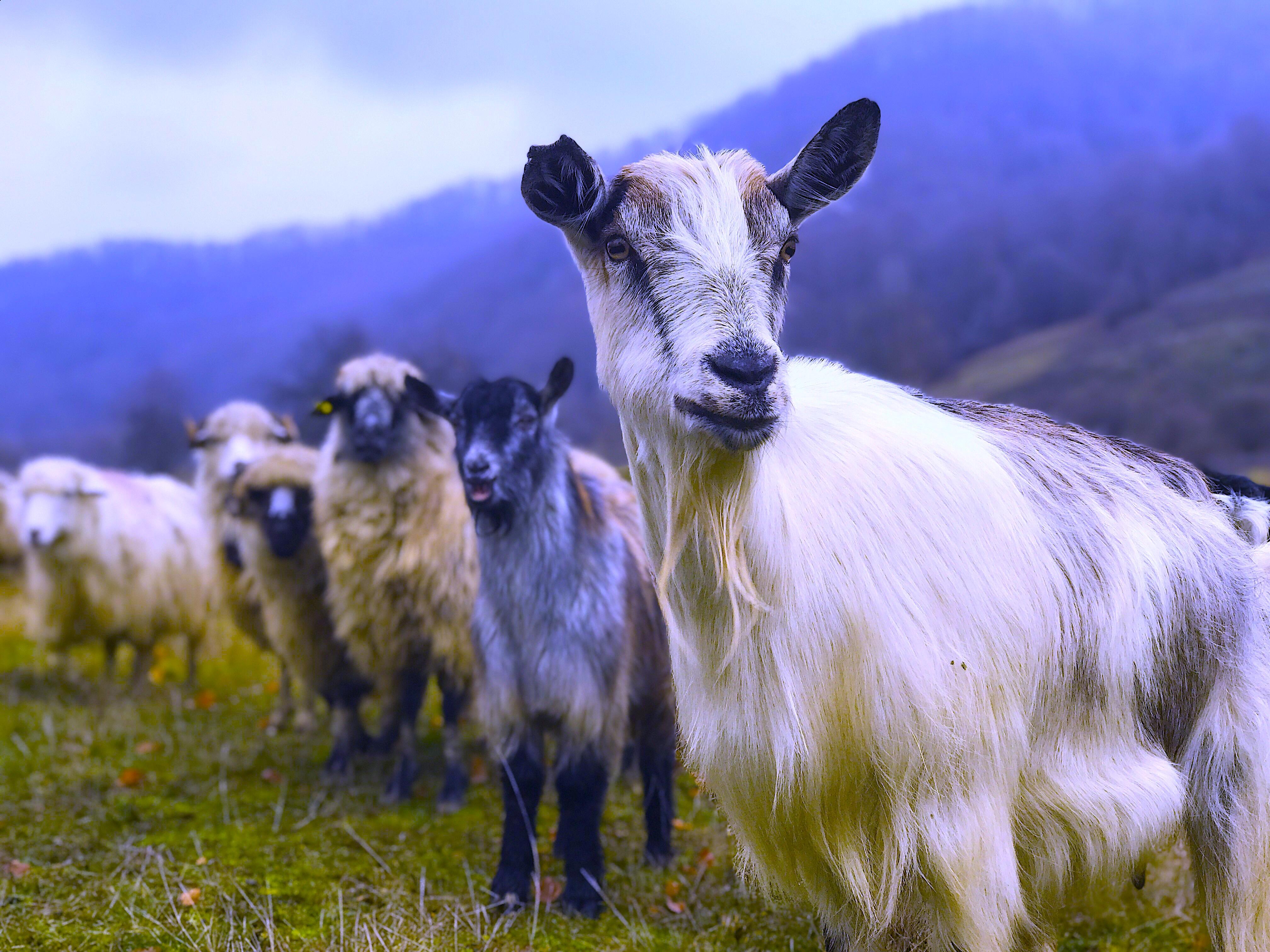 Capra, goat in Tara Lapusului, Transylvania