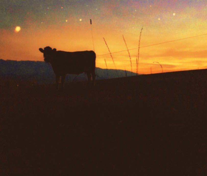 Cow in Slovakian sunset, photo Malin Skinnar